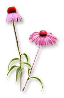 La Equinacea. Una planta para aumentar las defensas. Equinacea
